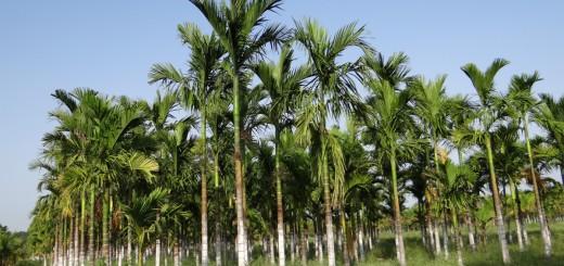 plantation_areca_nut_areca_palm_areca_catechu_betelnut_chikmagalur_karnataka_india-1102671.jpg!d